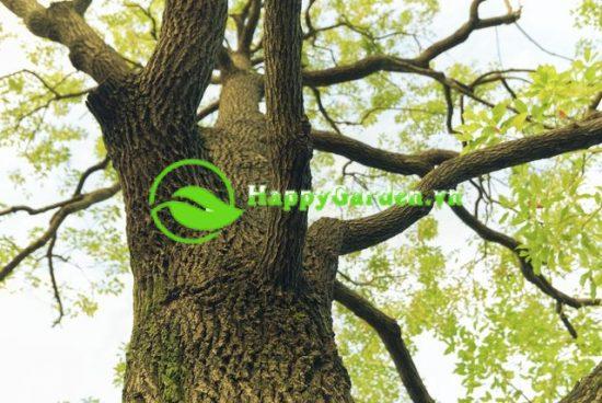 Cây long não hay còn gọi là cây dã hương