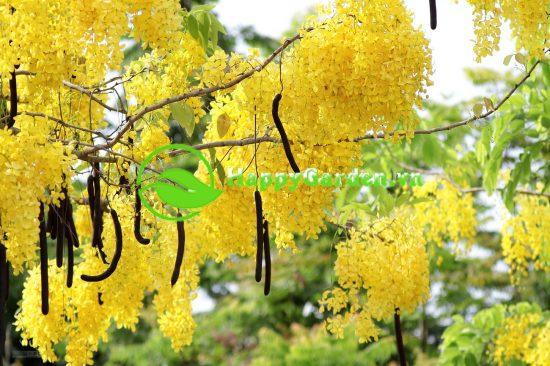 Hoa của cây muồng hoàng yến còn có tên là Osaka vàng