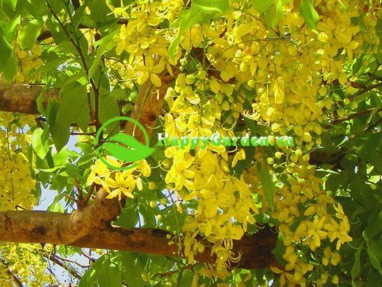 Cây muồng hoàng yến có tên khoa học là Cassia fistolusa L