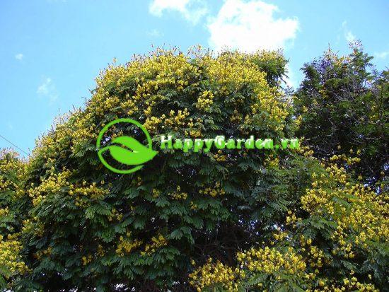 Lá của cây Lim Xẹt là lá kép lông chim, màu xanh đậm