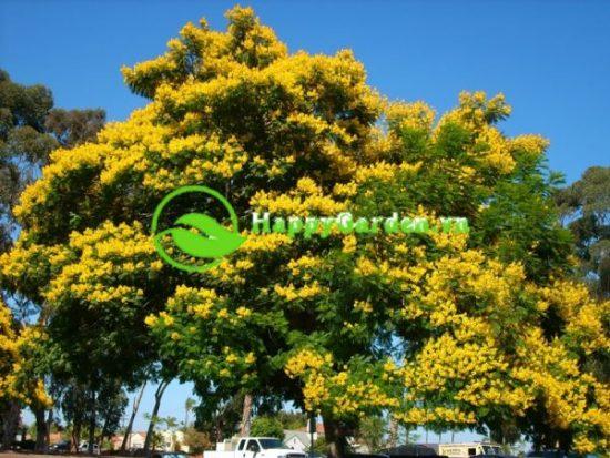 Cây lim xẹt ra hoa với những chùm hoa màu vàng