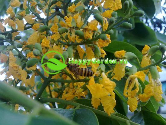 Hoa cây giáng hương màu vàng, mọc thành chùm ở nách lá