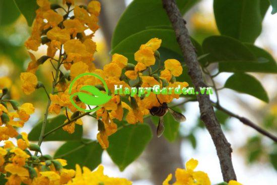 Lá cây giáng hương dạng kép lông chim