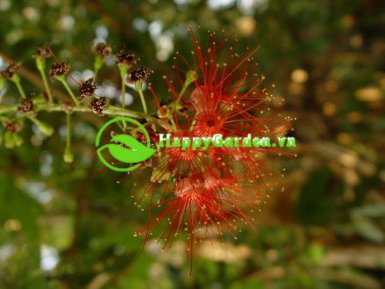 Tên khoa học cây lộc vừng là Barringtonia acutangula