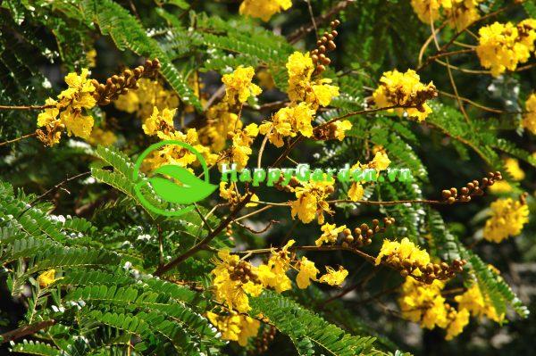Cây lim xét với sắc hoa vàng tươi nở rộ