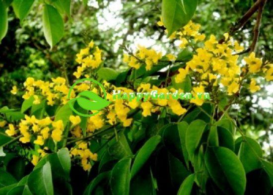 Cây giáng hương có tên thường gọi là Đinh hương
