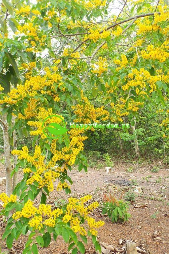 Hoa cây giáng hương có màu vàng nghệ với cuống dài