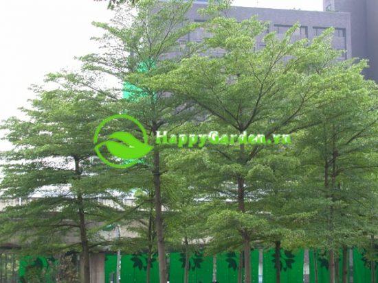 Cây bàng đài loan trồng ở một số công viên, đường phố