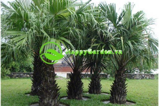 Lá cây cọ dầu mọc tập trung ở đỉnh, hình giống lá dừa