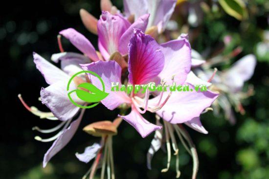 Hoa cây hoa ban có 5 cánh có màu từ tím, hồng nhạt đến trắng