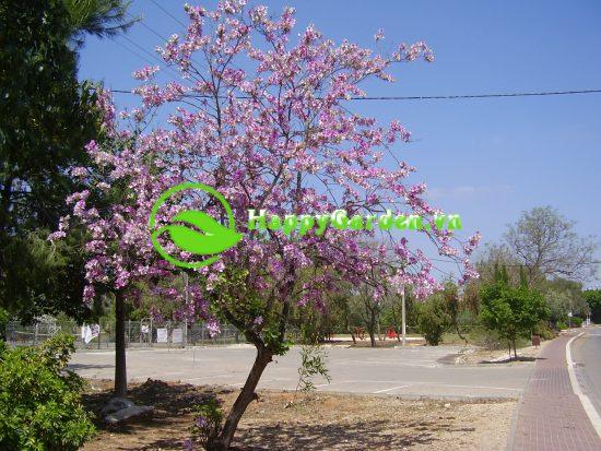 Cây hoa ban là một trong những loại cây đặc trưng của người Tây Bắc