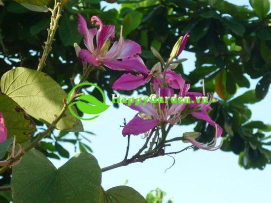 Cây hoa ban mang vẻ đẹp hoang dã của núi rừng