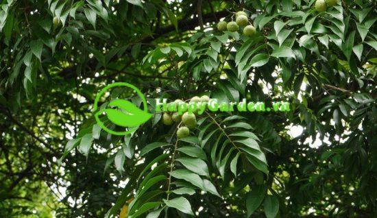 Quả cây sấu hình cầu hơi dẹt, đường kính khoảng 2 cm