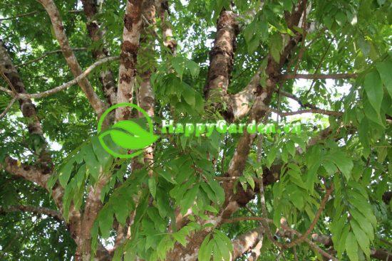 Phiến lá cây sấu chét hình trái xoan, đầu nhọn gốc tròn