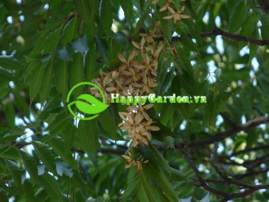 Cây lát hoa còn được gọi là cây xoan lát