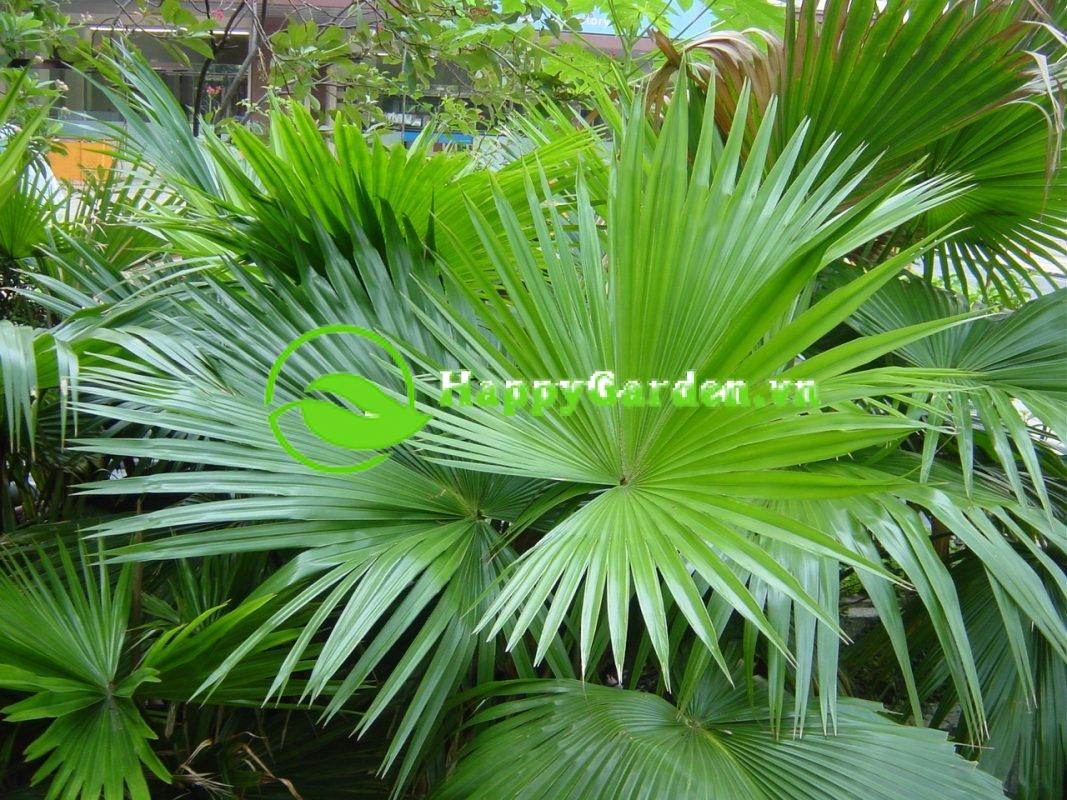 Cây cọ Mỹ có tên khoa học Washingtonia filifera (Lind.) H.Wendl