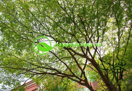 Cây bàng đài loan là loài cây thân gỗ