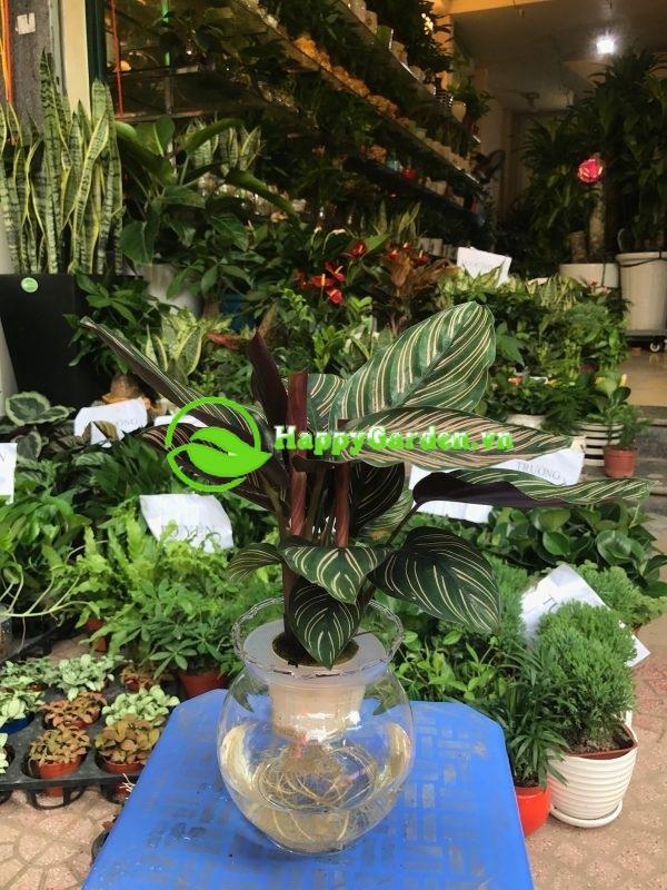 Cây thủy canh- Cách trồng hiện đại ngày nay