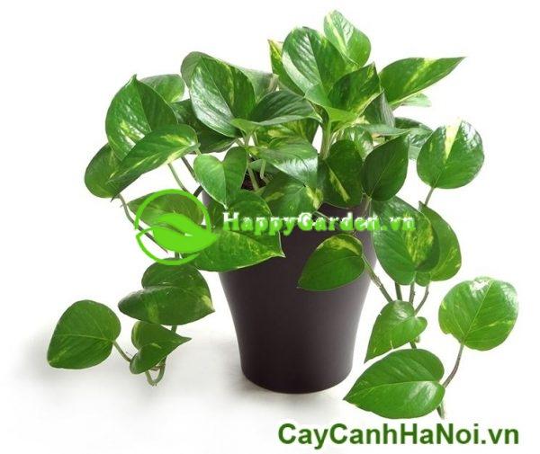 cây Vạn Niên Thanh